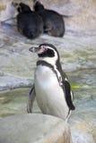 Penguin-point vertebrate bird   humboldt Stock Photography