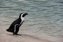 Penguin pooping near the shore Stock Images