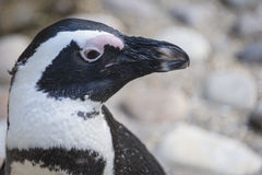 Penguin portrait. Cute penguin portrait as seen in zoo Stock Photography