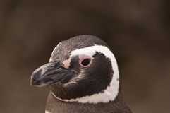 Penguin Portrait Stock Image