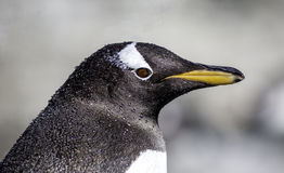 Penguin portrait Royalty Free Stock Image