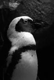 Penguin portrait Royalty Free Stock Photo