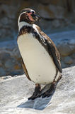 Penguin Posed in the Sunshine Stock Photos