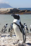 Penguin posing for the photo. Or take a sun - Boulders Beach - Cape Town - South Africa Stock Images