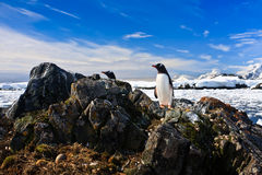 Penguin protects its nest Royalty Free Stock Photos