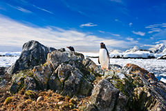 Penguin protects its nest Stock Image