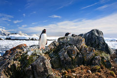 Penguin protects its nest Stock Photo
