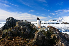 Penguin protects its nest Stock Images
