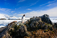 Penguin protects its nest. While standing on a rock royalty free stock image