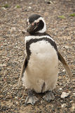 Penguin at Punta Tombo, Argentina. Penguin in the national park of Punta Tombo, Argentina Stock Images