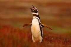 Penguin in the red evening grass, Magellanic penguin, Spheniscus magellanicus. Black and white penguin in the nature habitat, Falk Royalty Free Stock Images