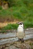 Penguin on rock Royalty Free Stock Photos