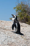 Penguin on rock Royalty Free Stock Image