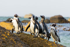 Penguin Rock Group  Royalty Free Stock Image