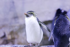 Penguin on a rock with other penguins Stock Images