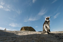 Penguin  rock Simonstown Royalty Free Stock Image