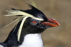Penguin Rockhopper Portrait Stock Photos