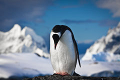 Penguin on the rocks Stock Photos