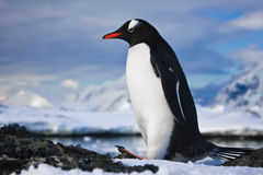 Penguin on the rocks Stock Photography
