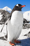 Penguin on the rocks Stock Images