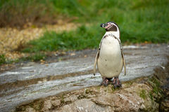 Penguin on rocks Stock Images