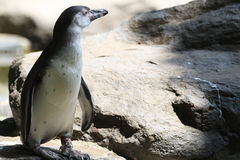 Penguin on rocks Stock Image
