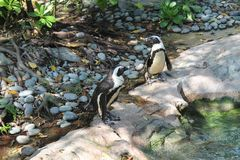 Penguin on rocks in green forest- location is Singapore Zoo. Stock Images
