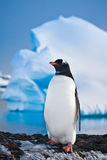 Penguin on the rocks Royalty Free Stock Photos