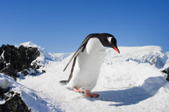 Penguin on the rocks. Penguin running on the rocks covered with snow stock images