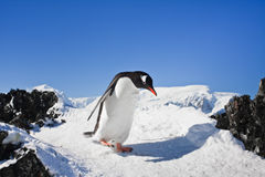 Penguin on the rocks Stock Photo