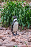 Penguin on rocks Stock Photography