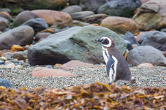 Penguin on rocky shore Stock Photography