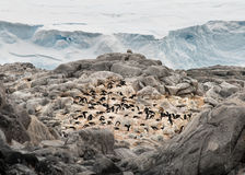 Penguin rookery Stock Photography