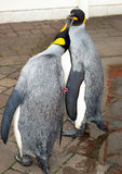 Penguin royalin Stock Photography