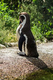 Penguin in a Russian zoo. Pinguinului or penguins (lat. Spheniscidae) — a family of flightless seabirds, only in the squad pinguinoerrante (Sphenisciformes Royalty Free Stock Photos