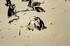 Penguin's Simon town. South african penguins cape town Stock Photography