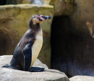 A Penguin sat on a rock Stock Photography