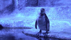 The penguin scratches his belly. Penguins in the aquarium stock footage