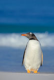 Penguin in the sea. Bird with blue waves. Ocean wildlife. Funny image. Gentoo penguin jumps out of blue water while swimming throu Royalty Free Stock Photography