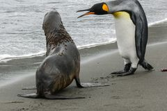 Penguin and seal. Penguins in Antarctica, waterfowl penguin in nature royalty free stock photo