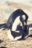 Penguin Sex. A devoted Adelie penguin couple making love Royalty Free Stock Photography