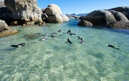 Penguin Shallows Boulders beach. Colony of Jackass African penguins swims in the shallows at Boulder's Beach Royalty Free Stock Photography