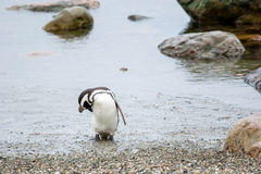 Penguin on shore in Punta Arenas Royalty Free Stock Photos