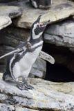 Penguin shouting Stock Photo