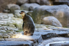 Penguin Sitting on Stones. In Evening Light stock image