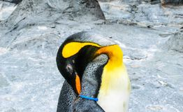 Penguin sleeping  Hokkaido Japan. Royalty Free Stock Photo