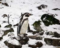 Penguin in the snow Stock Image
