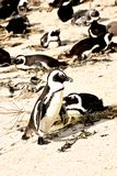 Penguin in South Africa Royalty Free Stock Photography
