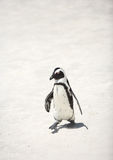 Penguin in South Africa Royalty Free Stock Photo