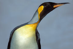 Penguin, South Georgia. Closeup view of a king penguin seabird with water droplets on its feathers, isolated against a gray sky, on the island of South Georgia Royalty Free Stock Photography